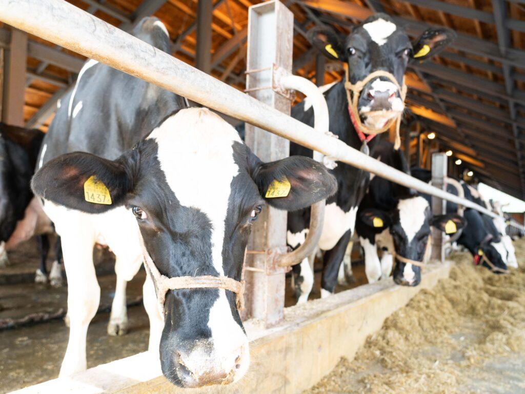 ニセコ高橋牧場の牛舎